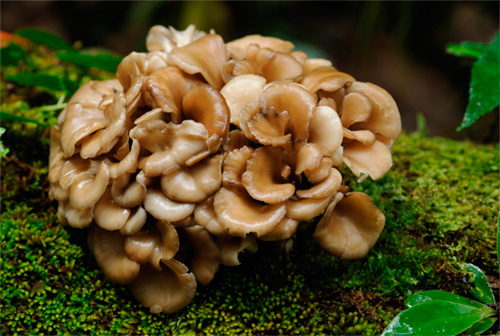 Global Hongo Maitake Market